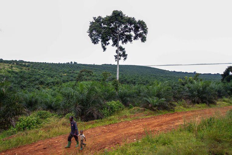 Een plantage waar palmolie wordt gewonnen in Bumanji, Oeganda.  Beeld AFP