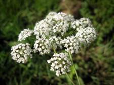 Deze bloemen en planten zijn onruststokers, maar blijf kalm: er vallen niet snel slachtoffers