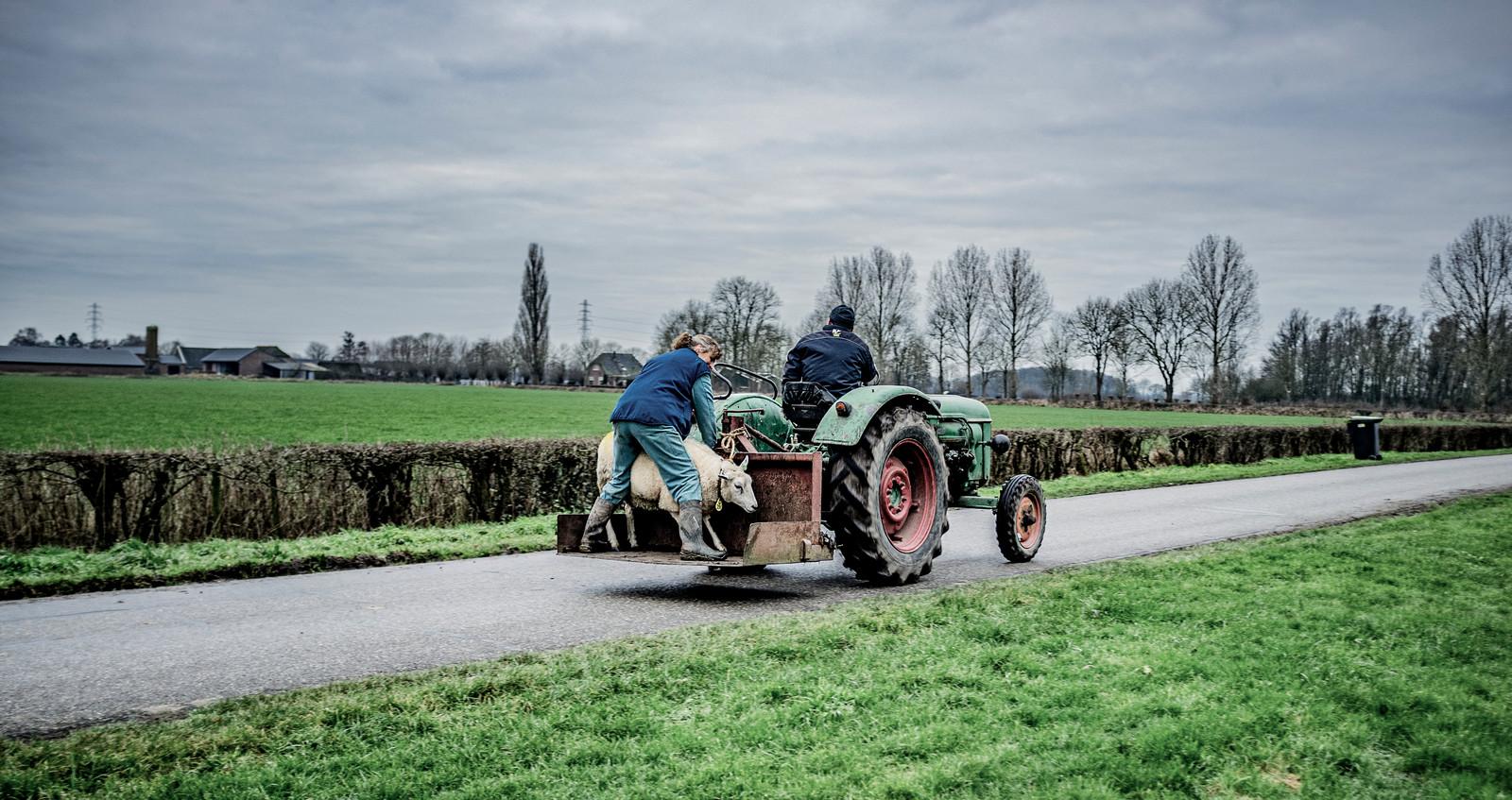 Welke weg kiezen veehouders? Zich laten uitkopen door de overheid of gewoon doorgaan?