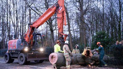 Kasteelstraat in Kruishoutem helemaal afgesloten nadat zware boom uit kasteelpark op de weg valt
