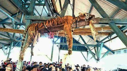 Gespietst en opgehangen: dorpelingen maken bedreigde Sumatraanse tijger af
