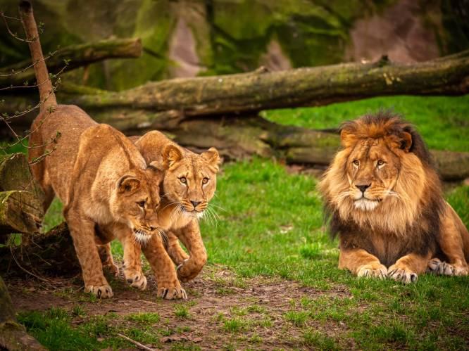 Een leeuw steek je geen wisser in de neus: alle zoogdieren in Zoo Antwerpen en Planckendael (negatief) getest op corona