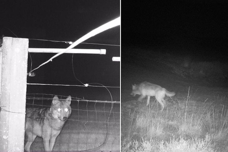 Wolf August (links) en wolvin Noëlla hebben ondertussen vier jongen. Beeld Welkom Wolf