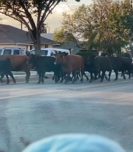 Rodéo près de Los Angeles: une quarantaine de vaches s'évadent de l'abattoir