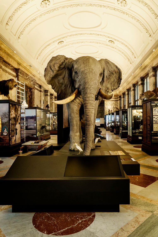 De opgezette olifant stond in het oude museum en is terug, maar met een hedendaagse duiding. Nu wordt de nadruk gelegd op het belang van deze beschermde diersoort voor de biodiversiteit van tropische wouden. Beeld Eric de Mildt