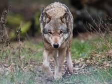 'Schapenhouders in Altena vrezen voor komst van de wolf. Zo'n roofdier hoort hier niet'