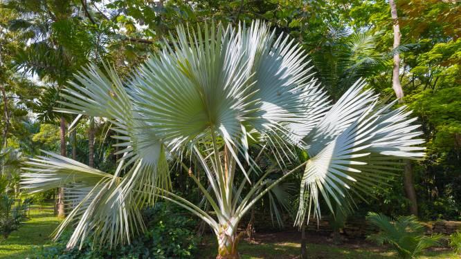 Hoe doet de palmboom het in de steeds hetere Nederlandse zomers?