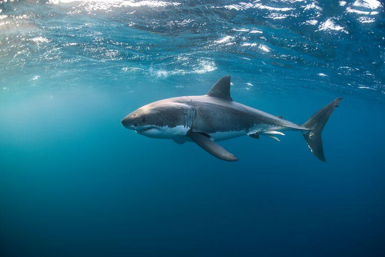 Een grote witte haai voor de kust van Australië.  Beeld Getty Images