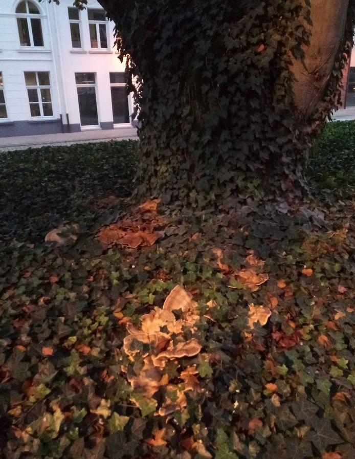 Een reuzenzwam heeft de boom zwaar aangetast.