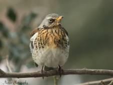 De kramsvogel kwakkelt: aantal broedvogels neemt af in Oost-Nederland