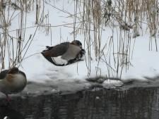 Drukte bij dierenambulance: 'Vooral watervogels hebben het zwaar'