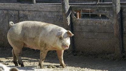 Al elf landen voeren geen Belgisch varkensvlees meer in door Afrikaanse varkenspest
