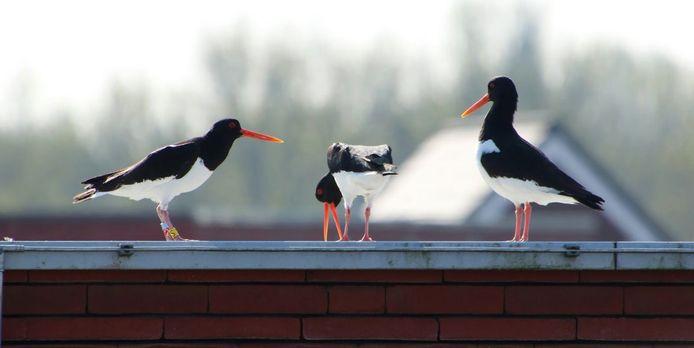 Scholeksters op het dak van het politiebureau in de Meern.