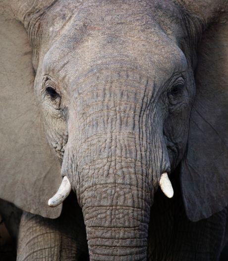 Olifant doodt stroper in Krugerpark in Afrika, rest van groep laat vertrapte man achter