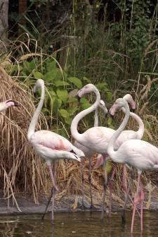 Faunapark apetrots op kolonie flamingo's