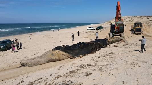 Werknemers van de Israëlische Natuur- en Parkautoriteit begraven de dode 17 meter lange vinvis op het strand van Nitzanim nabij de stad Ashkelon, Israël.