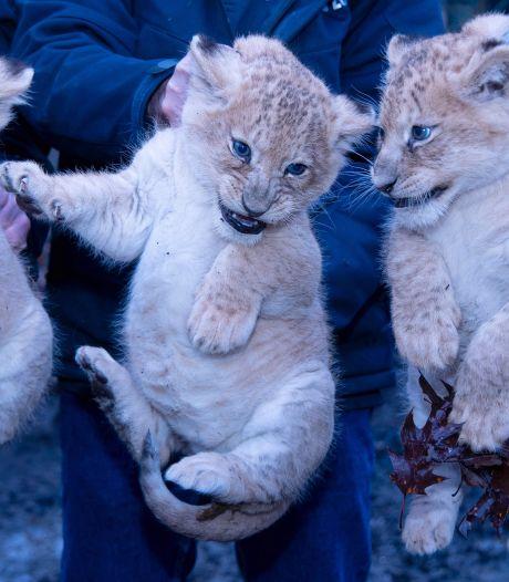 Burgers' Zoo toont nieuwe foto van kerngezonde leeuwenwelpjes: 'Precies zoals we het willen zien'