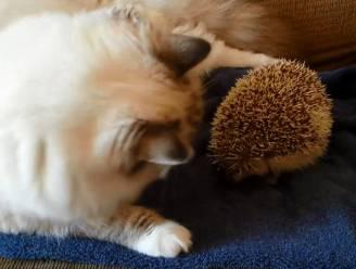 De pijnlijke ontmoeting tussen kat en egel