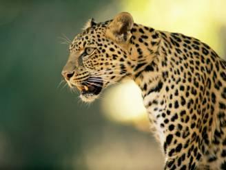 3 luipaarden ontsnapt uit Chinees safaripark, pas een week later gemeld