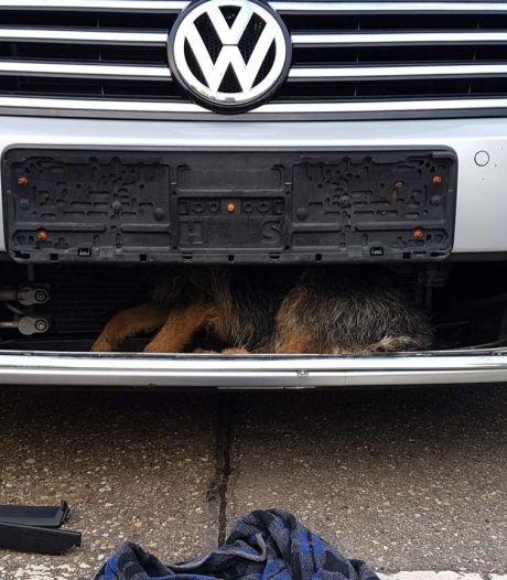 Aangereden hond overleeft horrorrit achter grille van auto