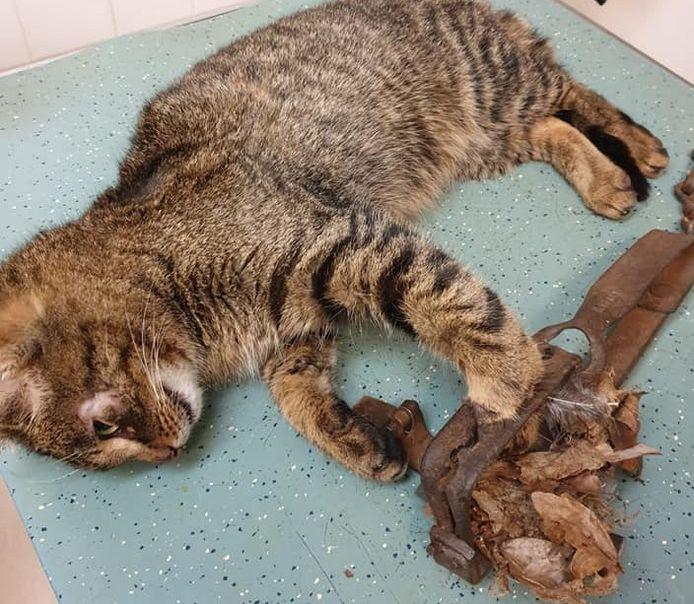 De kater zit met zijn pootje vast  in een vossenklem en wordt bevrijd.