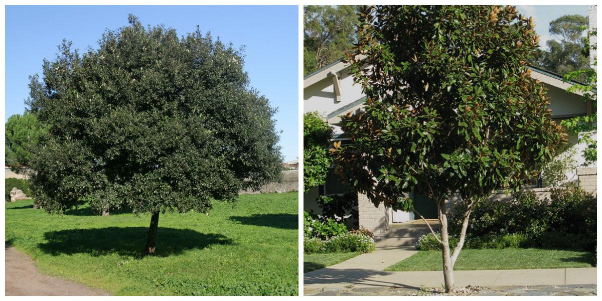 Steeneik en Magnolia grandiflora