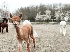 Een landgoed vol pluizige diertjes! Brielse zussen kunnen niet wachten om hun alpacaboerderij te openen