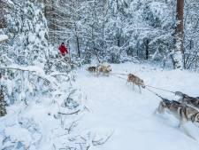 Danny en Iris sleeën met hun husky's door het besneeuwde landschap van de Veluwe: 'Het is nu net Lapland'