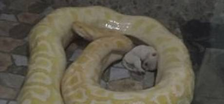 Puppy's dienen als maaltijd voor python in Chinese zoo