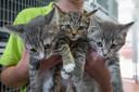 Een paar van de plaatsbare kittens in het Kamper dierenasiel.