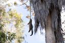 Het ziet er uit als of iemand een buidelrat heeft opgehangen in een palmboom. In tweede instantie zie je dat het beest in zijn snuit is gegrepen door een python. Michelle McMaster zag het in haar achtertuin in Brisbane gebeuren.  Foto's Michelle McMaster
