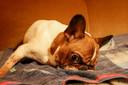 De Franse bulldog Hippolyte kan zijn kopje niet rechthouden door al het water. Ook zijn tong sleept de hele tijd op de grond.
