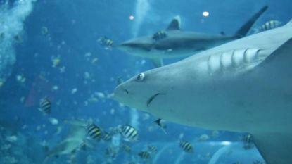 Haaien zetten tanden in internetkabels Google
