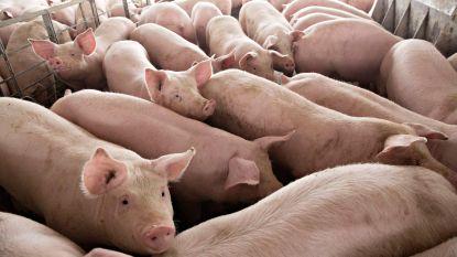 Spanje maakt zich zorgen: voor het eerst zijn er meer varkens dan inwoners