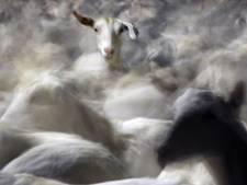 Is het de mest, het voer of de geit zelf?