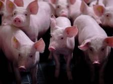 Sprundelse varkenshouder heeft natuurvergunning bijna binnen