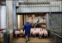 Varkens komen na transport aan bij het slachthuis.