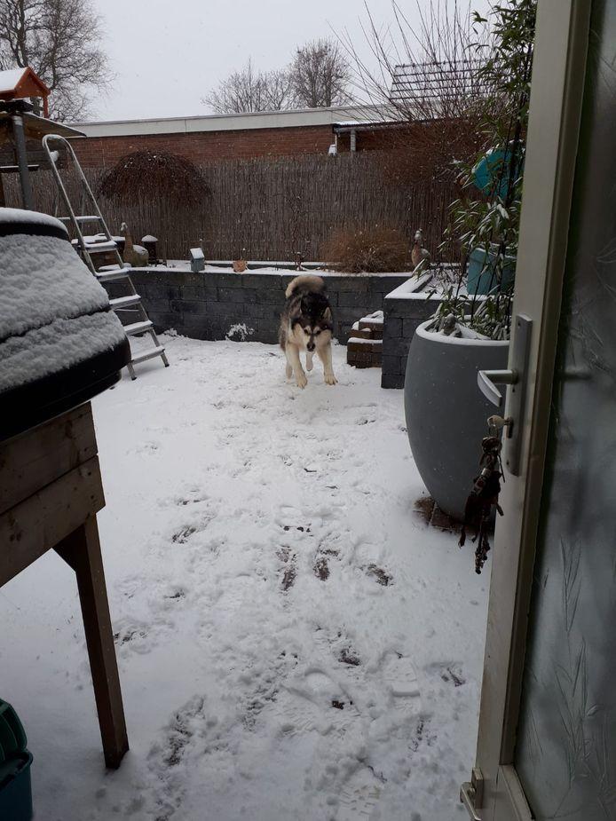 Araq de Alaskan Malamute is blij met de winterse neerslag in Dodewaard