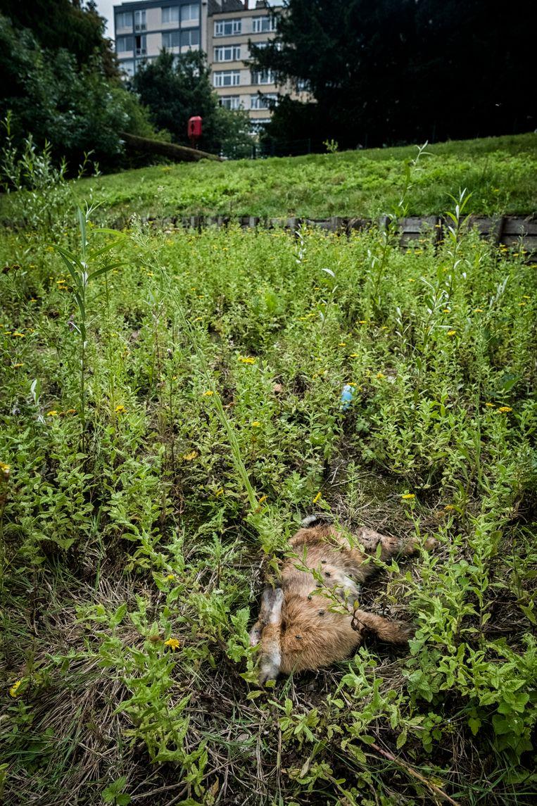 Zo loopt het dus af voor de konijnen in het Stadspark. Beeld Tim Dirven