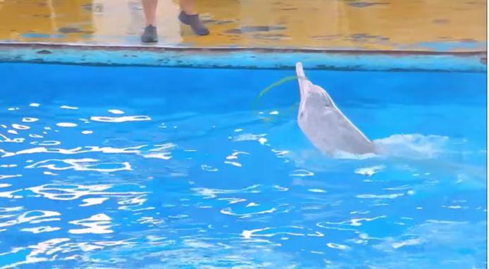 Een dolfijn zonder bovenkaak doet in een Chinees dolfinarium kunstjes.