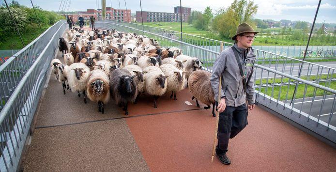 Fietsers moesten even geduld hebben toen 115 schapen van het Crescentpark naar het Zeepad in Harderwijk liepen, achter schaapsherder Jeroen Huiskamp aan.