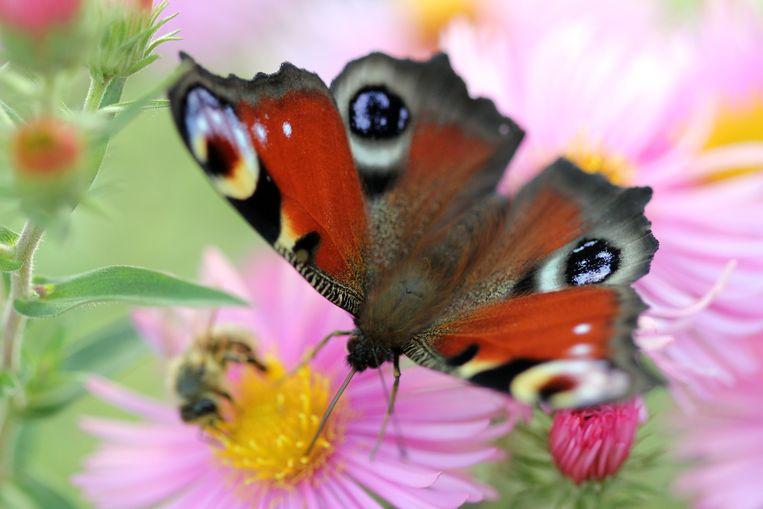 De dagpauwoog ontwaakt nu soms al in januari. Maar dan zijn er nog niet genoeg bloemen om hem te voeden.  Beeld Getty Images/iStockphoto
