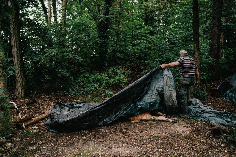 In Oudsbergen werden al verschillende dieren gedood door een wolf.  Beeld Wouter Van Vooren