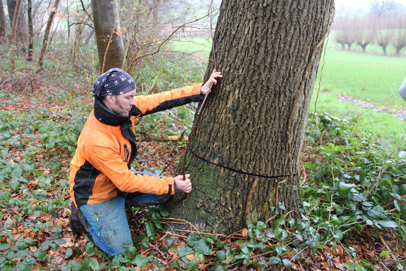 Boomverzorger Peter Vosters toont hoe de boomexpert de enten zal plaatsen op de eiken.