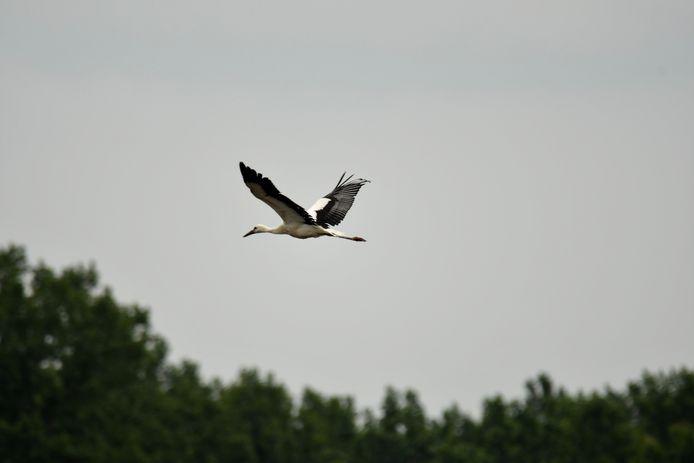 Na 5 minuten vloog de ooievaar alweer in het nest.