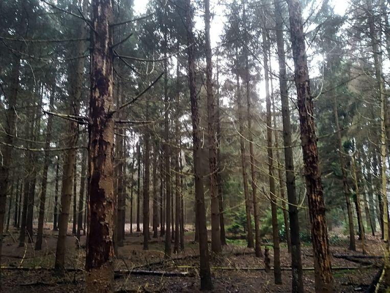 De fijnsparren in Den Rooy zijn aangetast door de letterzetter. Heel wat bomen zijn al afgestorven.