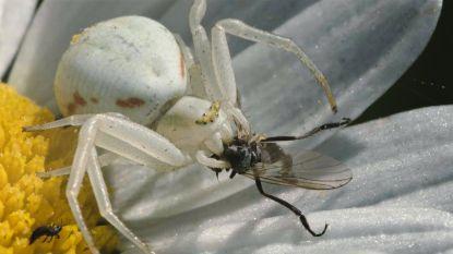 Spin verandert van kleur om prooi te vangen