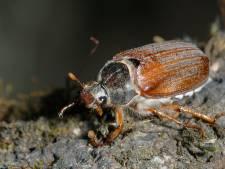 Steenuil smult in Twente en de Achterhoek van de meikevers