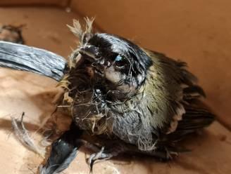 SOS Wilde Dieren boos om vogelvangst met lijmvallen