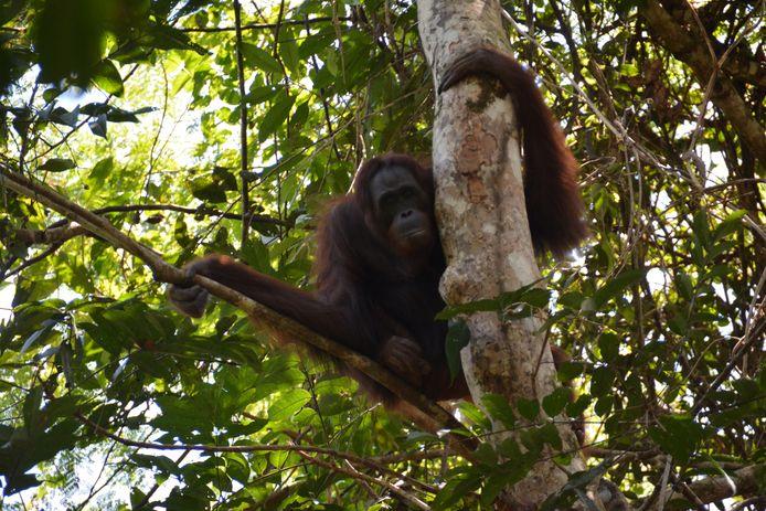 Nenuah, een 19-jarige orang-oetan, in een boom na vrijlating in het wild.